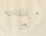 image armoured fish