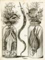 image ruysch f_thesaurus animalium_1710_plate 2