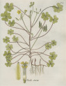 image jacquin_oxalis_plate 4