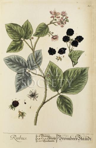 image blackwell, e_herbarium blackwellianium_1750_p45
