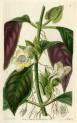 image lindley j_edwardss botanical register_v1_plate 4