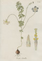 image jacquin_oxalis_plate 14