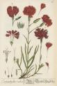 image blackwell, e_herbarium blackwellianium_1750_p85