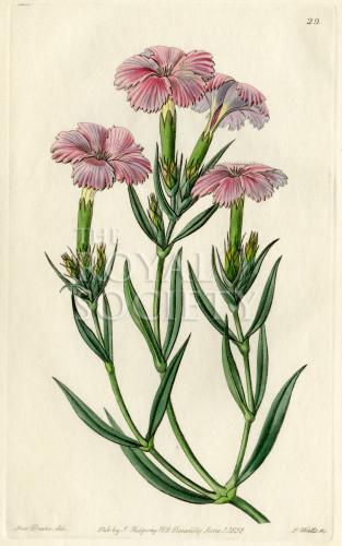 image lindley j_edwardss botanical register_v1_plate 29