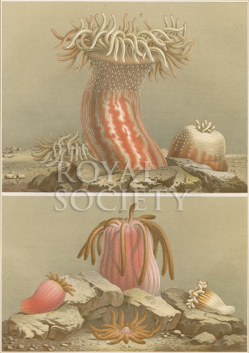 image a andres_le attinie_1884_plate 8