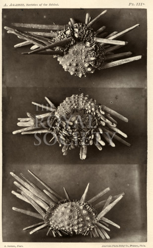 image memoirs of the museum of comparative zoology_v3_plates_1872_plate 3c
