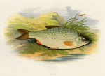 image houghton w_british fresh-water fishes_v1_1879_plate 8