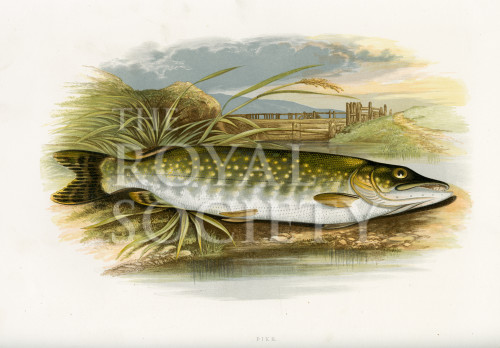 image houghton w_british fresh-water fishes_v1_1879_plate 18