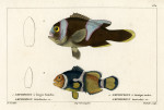 image cuvier g_histoire_poissons_plate 132