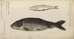 image willughby, f_historia piscium_1686_greyling and carp_tabq1